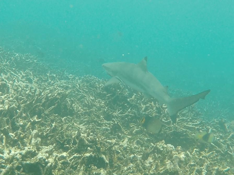 Rencontre avec un requin à pointe noire