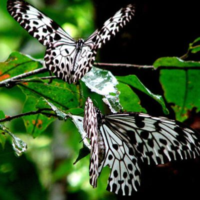 Sinharaja Sri Lanka Butterfly