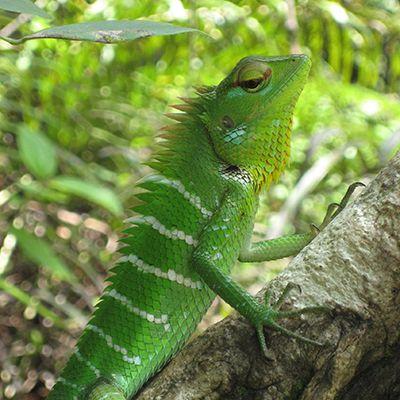 Green lizard in Sinharaja Forest, Sri Lanka