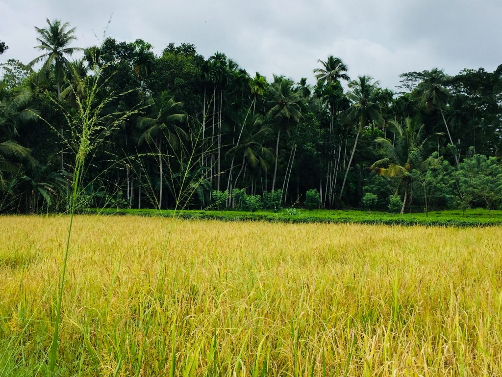Paddy fields in a village in Unawatuna