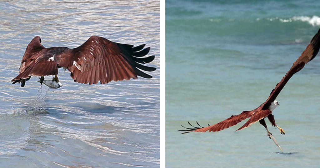 aigles pêcheurs a Point Pedro Sri Lanka