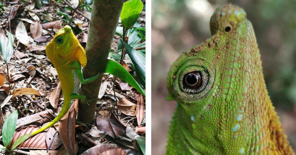 lézard forêt de Sinhajara au Sri Lanka