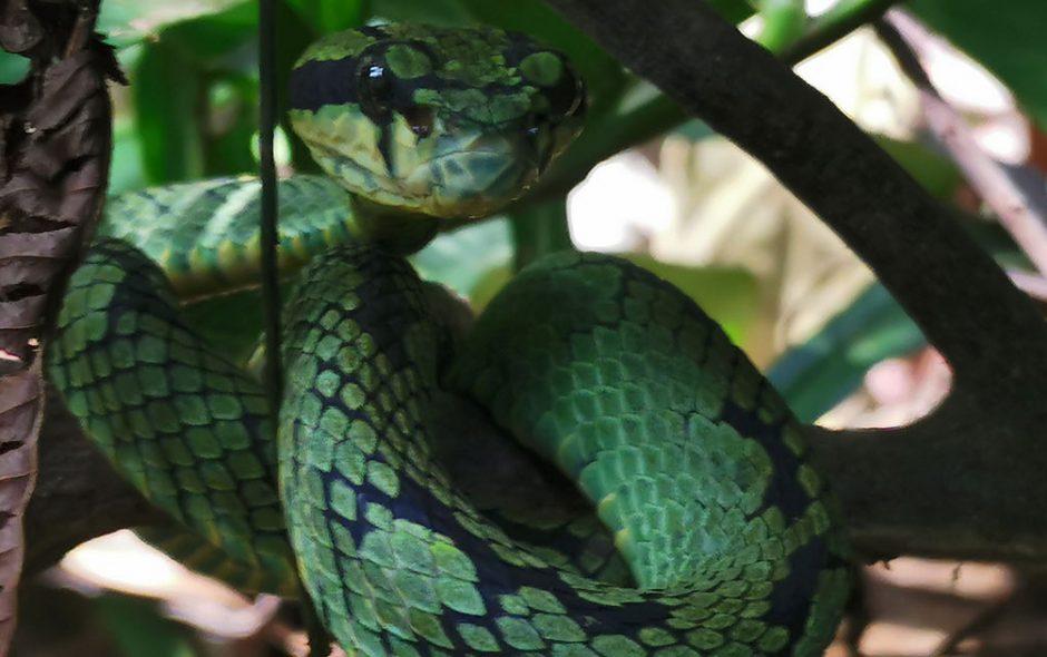 Sinhajara Sri Lanka vipere